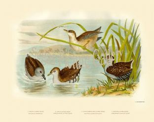 Water Crake, White Eyebrowed (Erythra Quadristrigata)